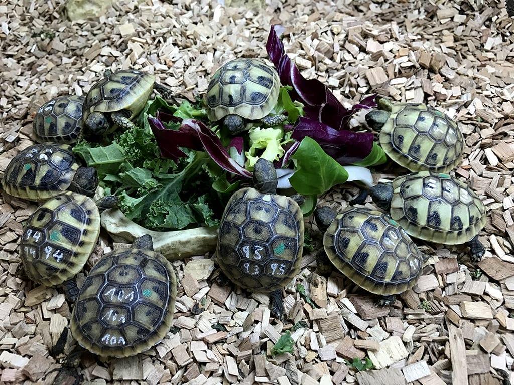 Hermann's Tortoise CB18