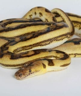 Female Anthrax Supertiger Mainland Reticulated Python
