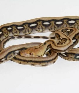 Female Citron Tiger het Albino Mainland Reticulated Python CB17