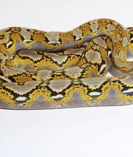 Female Platinum het Anthrax Mainland Reticulated Python CB14