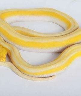 Male White Titanium Mainland Reticulated Python CB16