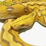 Female Amaretto Sunfire Mainland Reticulated Python