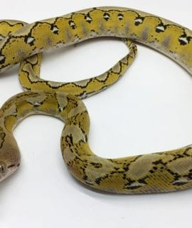 Female Citron Platinum poss het Albino Mainland Reticulated Python CB15