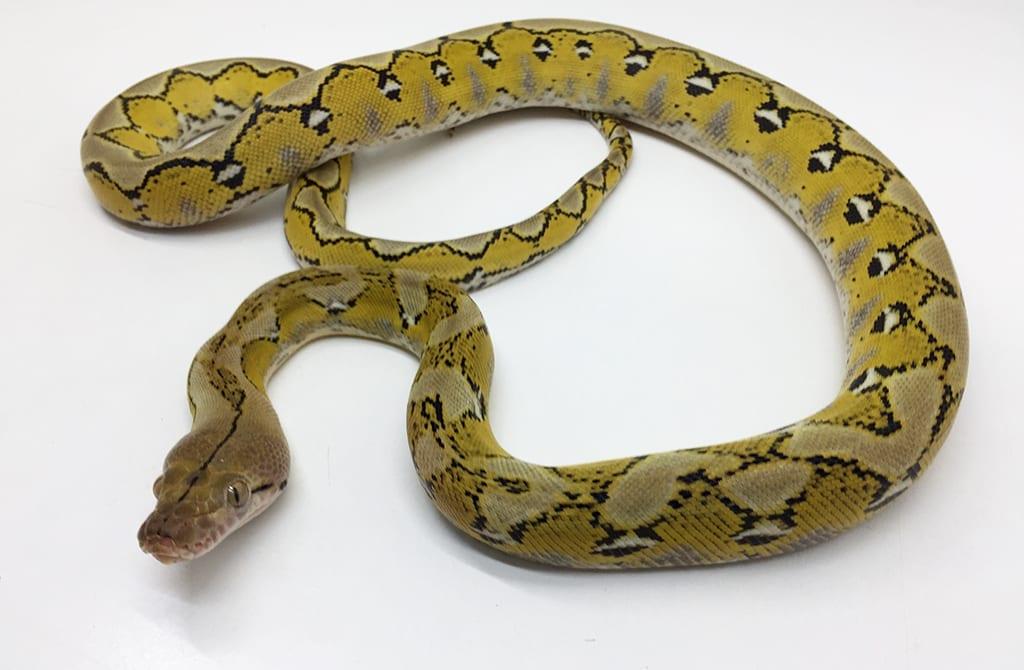 Female Citron Platinum poss het Albino Mainland Reticulated Python CB15