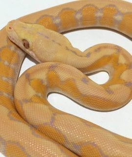 Female Coral Platinum Super Dwarf Reticulated Python