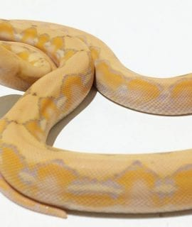 Female Coral Superdwarf Reticulated Python