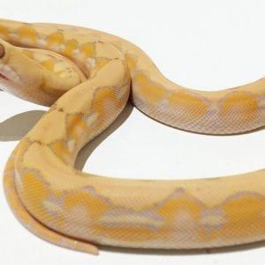 Female Coral Superdwarf Reticulated Python