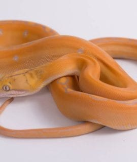 Female Lavender Goldenchild Mainland Reticulated Python CB18