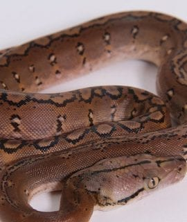 Male Motley het Albino Mainland Reticulated Python CB17
