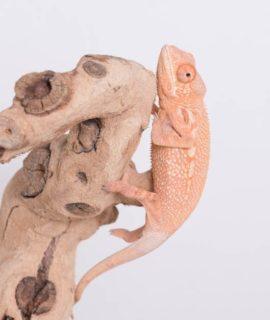 Female Ambilobe Panther Chameleon CB20