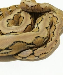 Female Platinum het Foulsham Caramel Mainland Reticulated Python CB17