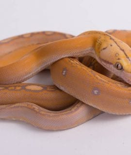 Female Purple Goldenchild Mainland Reticulated Python CB18