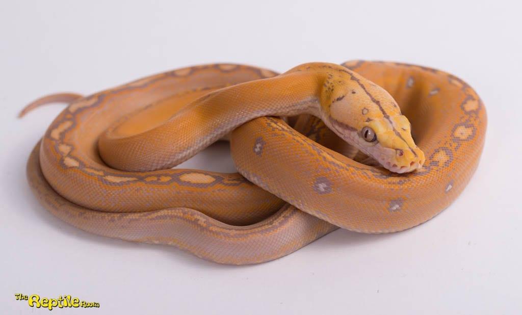 Female Purple Goldenchild Mainland Reticulated Python CB18