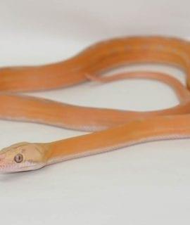 Female Purple Albino Sunchild Dwarf Reticulated Python CB17
