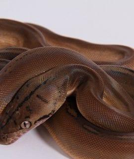 Male Sunfire Goldenchild Mainland Reticulated Python CB18