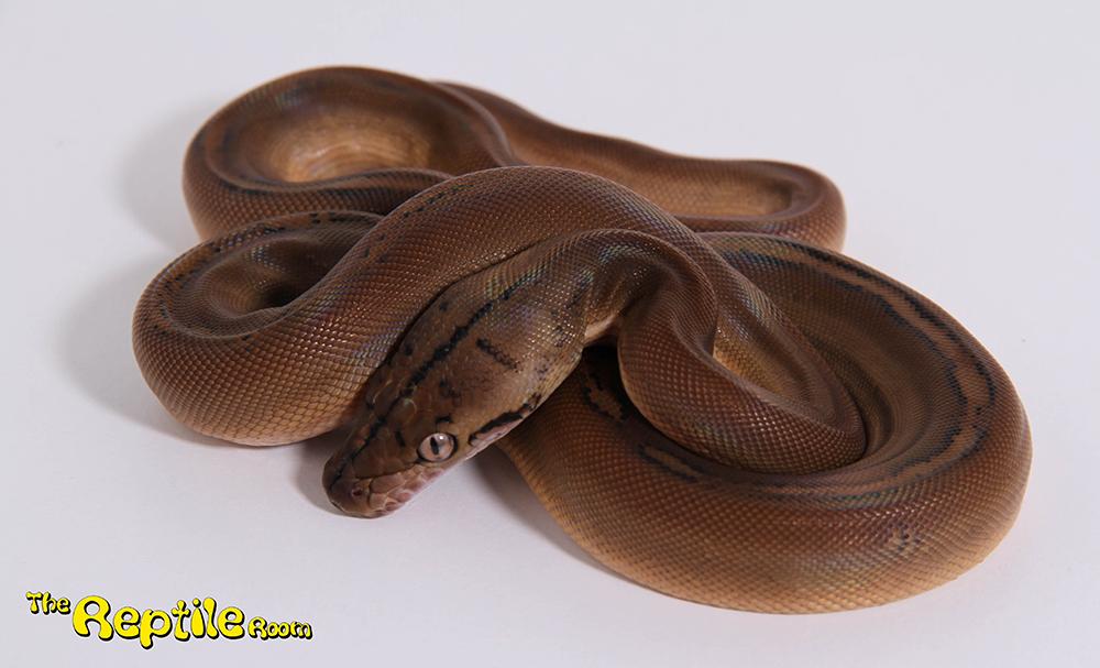 Male Sunfire Goldenchild Mainland Reticulated Python CB17
