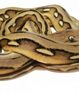 Female Sunfire Tiger Mainland Reticulated Python CB16