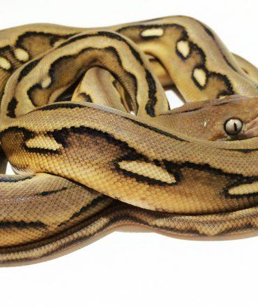 Female Sunfire Tiger Mainland Reticulated Python CB16