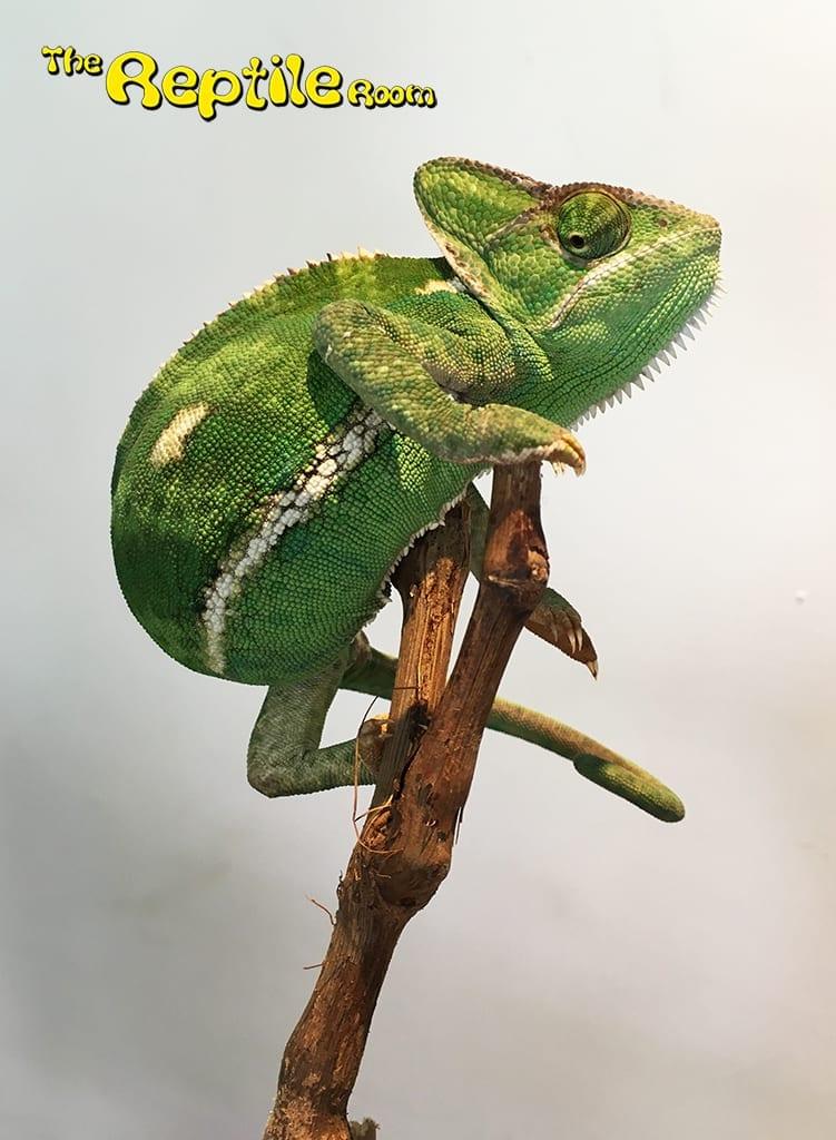 Female Yemen Chameleon CB18