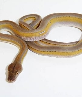 Male Platinum Titanium Mainland Reticulated Python CB16