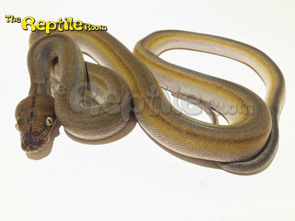 Male Sunfire Titanium Mainland Reticulated Python CB17