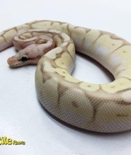 Male Banana Killer Bee Royal Python CB17