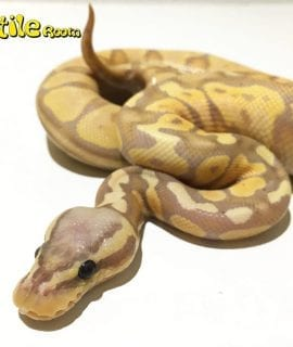 Male Banana Pastel Royal Python CB16