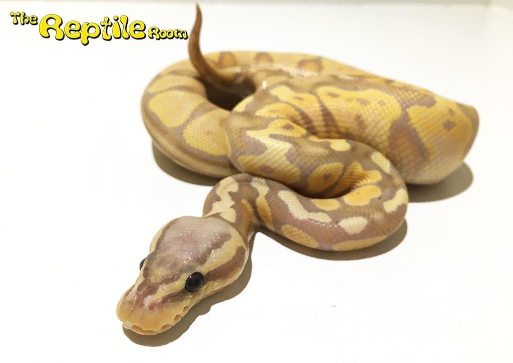 Male Banana Pastel Royal Python CB16
