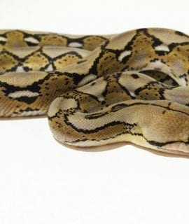 Female Citron het Albino Mainland Reticulated Python CB16