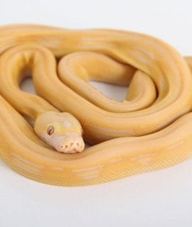 Male White Super Tiger Citron Mainland Reticulated Python CB17