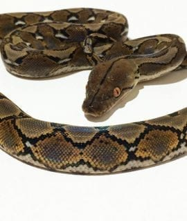 Female Classic poss het Albino Mainland Reticulated Python CB17