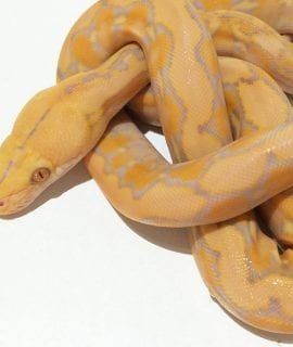 Male Coral Super Dwarf Reticulated Python