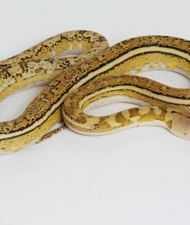 Male Platinum Tiger Anthrax Mainland Reticulated Python CB15