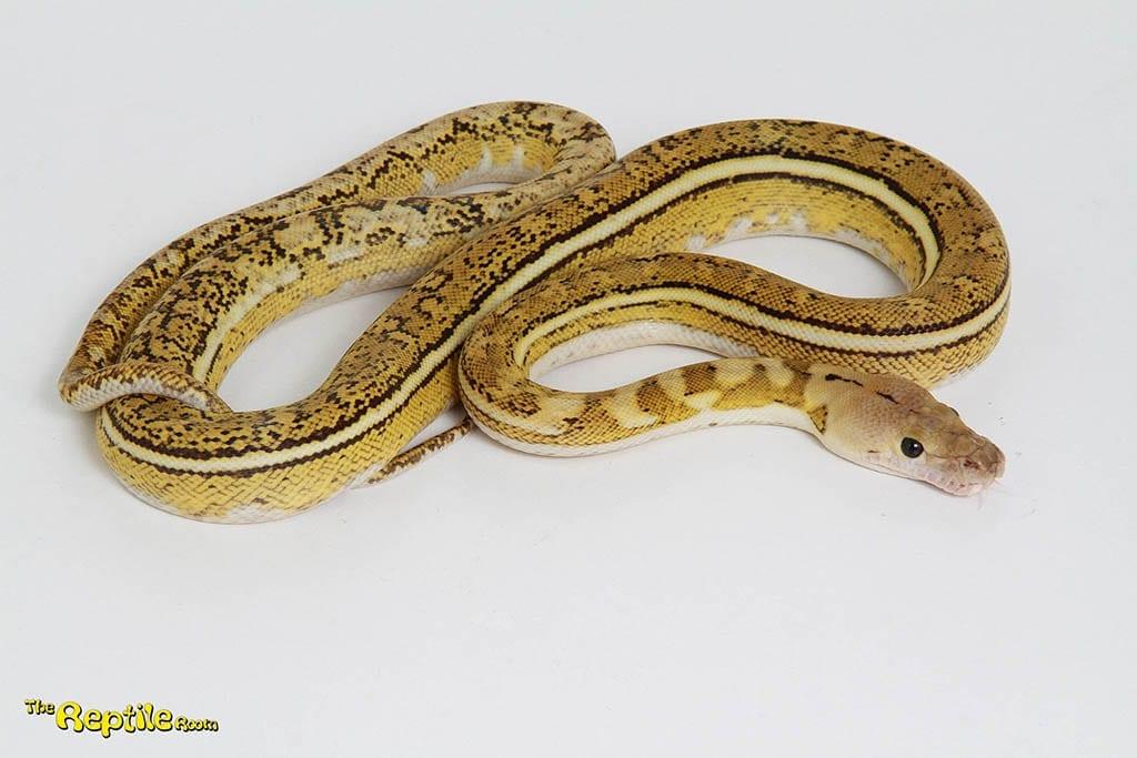 Male Platinum Tiger Anthrax Mainland Reticulated Python CB15