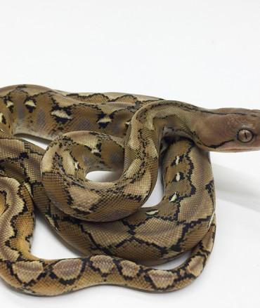 Male Platinum het Foulsham Caramel Mainland Reticulated Python CB17