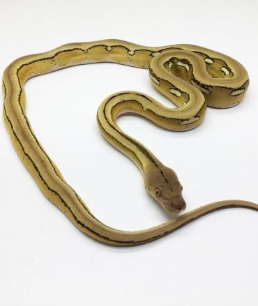 Male Platinum Tiger Mainland Reticulated Python CB17
