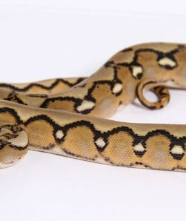 Female Sunfire Mainland Reticulated Python CB17