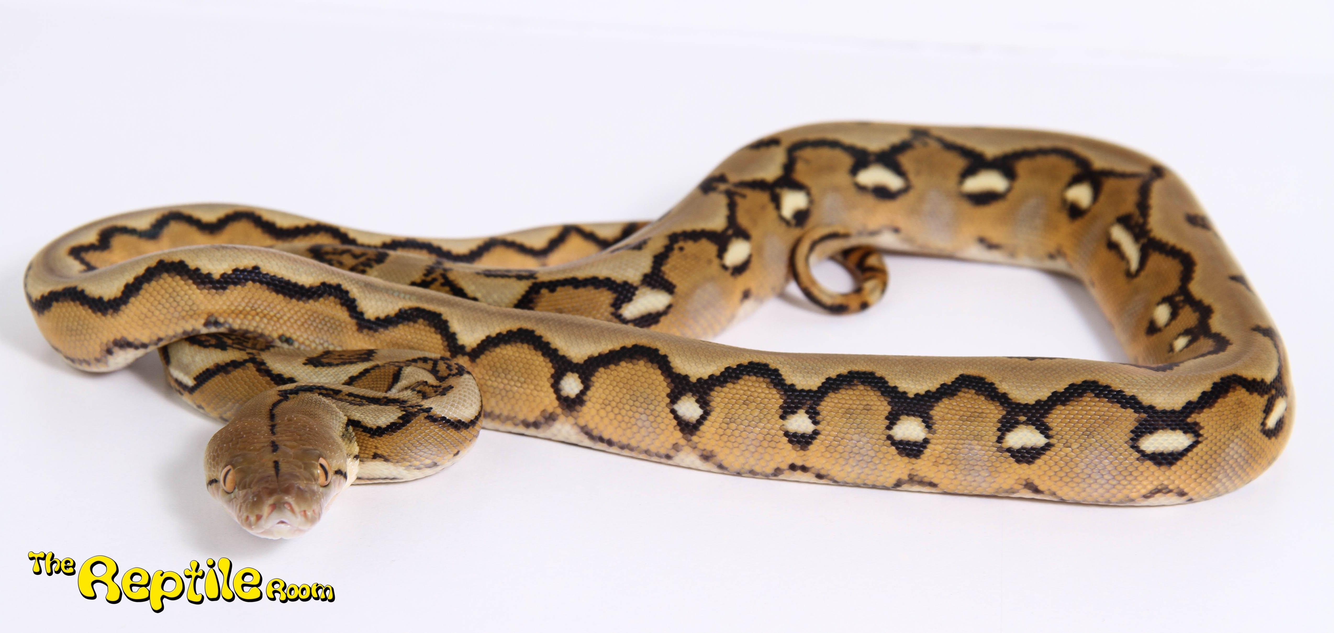 Female Sunfire Mainland Reticulated Python CB17