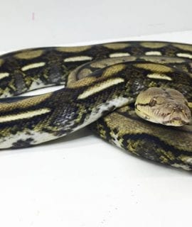 Male Tiger het Anthrax Mainland Reticulated Python CB14