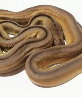 Male Titanium Mainland Reticulated Python CB16
