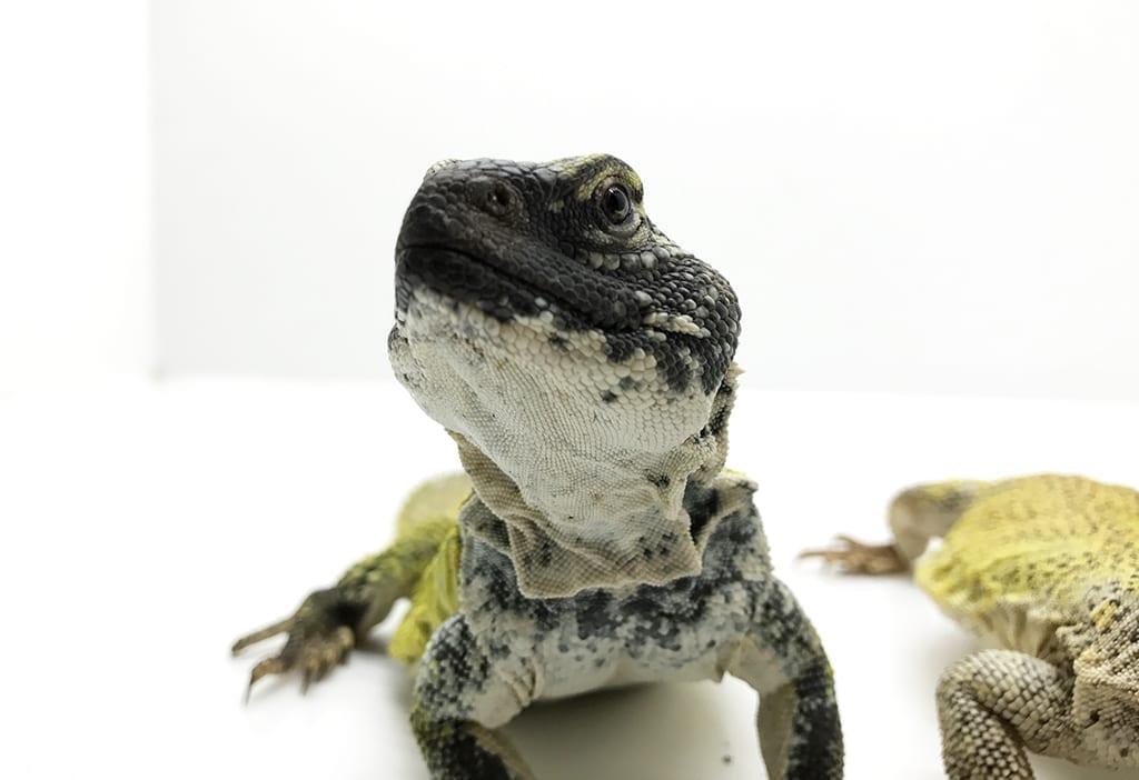 Uromastyx acanthinurus nigriventris