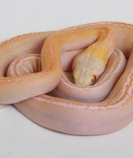 Male White Motley Goldenchild Mainland Reticulated Python CB16