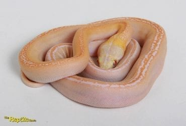Male White Motley Goldenchild Mainland Reticulated Python CB16