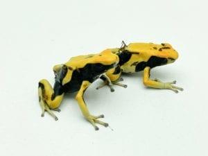 dart frog care sheet