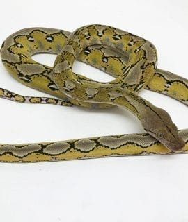 Female Citron Platinum poss het Albino Mainland Reticulated Python CB17