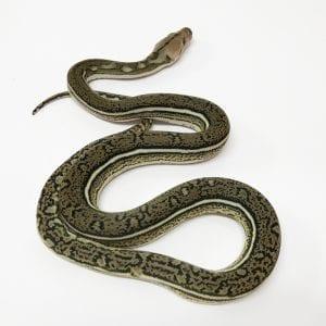 Female Tiger Anthrax Mainland Reticulated Python CB17