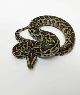 Female Classic Burmese Python CB19