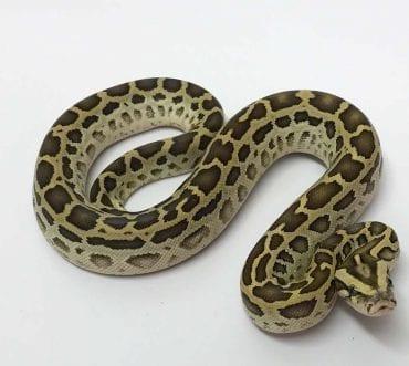 Male Hypo Burmese Python CB19
