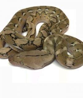 Female Platinum poss het Anthrax Mainland Reticulated Python CB17
