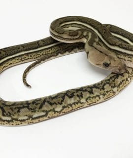 Male Tiger Anthrax Mainland Reticulated Python CB17